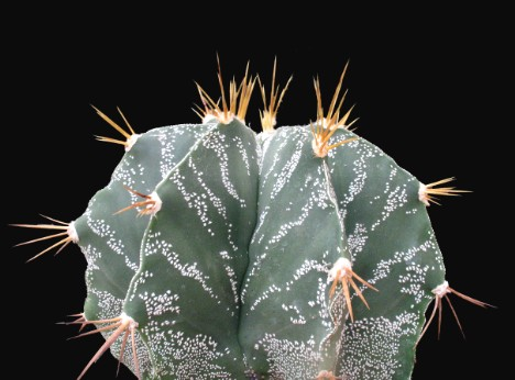 Astrophytum ornatum (DC.) Britton & Rose