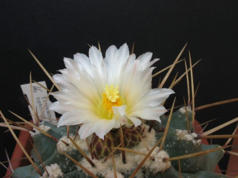 Thelocactus lophothele (Salm-Dyck) Britton & Rose sin. di Echinocactus lophothele Salm-Dyck