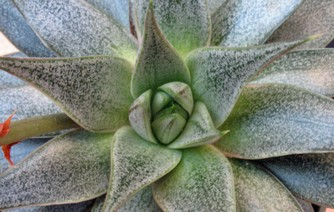 echeveria_purpusorum.jpg
